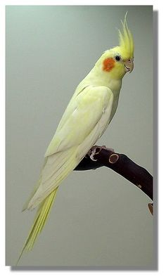 The Cockatiel, also known as the Quarrion and the Weiro, is a member of the cockatoo family endemic to Australia. Description from pinterest.com. I searched for this on bing.com/images