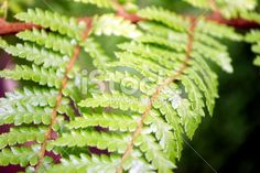 A close up of a Punga Fern Frond in differential focus, the focus. Fern Frond, Tree Fern, Maori Words, Silver Fern, Lush Green, Image Now, Ferns, Flora, Royalty Free Stock Photos