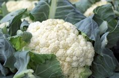 Discover if cauliflower is safe to eat in a gout diet. And cauliflower cheese? This traditional British dish is a popular way to cook with cauliflower. Growing Cauliflower, Health Benefits Of Cauliflower, Cauliflower Couscous, Parmesan Cauliflower, Cauliflower Soup Recipes, Grilled Cauliflower, Cauliflower Breadsticks, Purple Cauliflower, Loaded Cauliflower