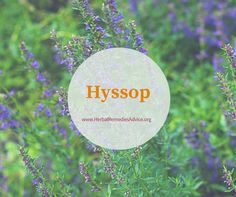 Hyssop comes to us originally from the mediterranean and has been a beloved medicinal plant for thousands of years.