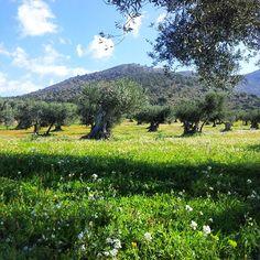 Senderisme per la Ruta dels Olivars #aRoses #VisitRoses #igersroses #inCostaBrava #catalunyaexperience #descobreixcatalunya
