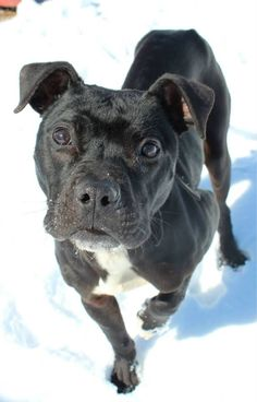 """URGENT! LOVABLE BOY """"RIDER"""" Kennel # 12 (very cool Harley kind o guy!) is waiting for you!!! Come down & meet this awesome dude Rider soon! LORAIN COUNTY OHIO...Kennel #  12  available for adoption  3/18"""