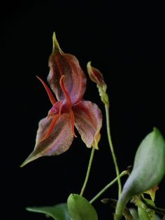 Lepanthes - Flickr - Photo Sharing!