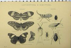 Lepidoptera C1890 Butterflies Fly Lice Insect Boatman