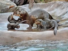 Photos, Video: L.A. Zoo Welcomes Adorable Baby Otter Pups And Giraffe: LAist