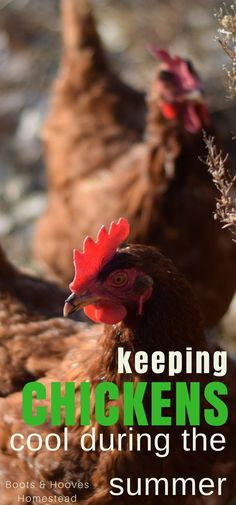 KEEPING CHICKENS COOL during the heat of summer. Some very simple and practical advice to help your flock stay happy and healthy during the hot days. Diy Chicken Coop Plans, Portable Chicken Coop, Building A Chicken Coop, Keeping Chickens, Raising Chickens, Pet Chickens, Rabbits, Chicken Cages, Chicken Houses