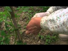 Farsi l'orto - I pomodori, lesson 3