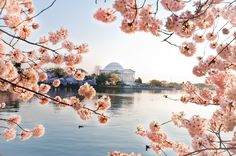 Cherry Blossoms, DC Tidal Basin, by Samantha Brooke Photography