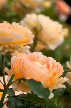 ~'Molineux' English rose