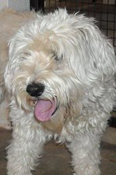 Buddy Boy (Male) - Terrier Dog Adoptable.   I swear this dog looks so much like my West Highland White Terrier X Poodle Buddy