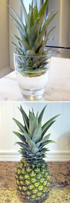 How to Grow a Pineapple Herb Garden, Vegetable Garden, Pineapple Planting, Pineapple Top, Growing Plants Indoors, Organic Compost, Tulips In Vase, Potting Soil, Fruit Trees