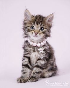 "Charlie (Domestic longhaired Kitten)  Charlie says ""Pearls are just purrfect"""