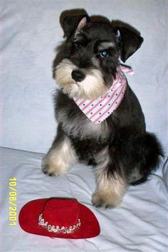 Someone is forcing you to change your style. | Community Post: These Mini Schnauzers Will Solve All Of Your Problems