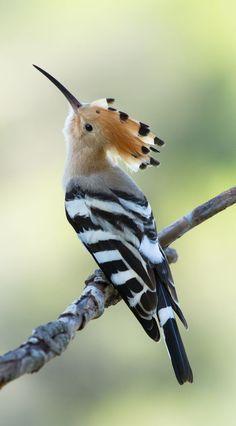 Birds of a Feather. Hoopoe: Upupa epops - Hoopoe is the National-Bird of Israel Kinds Of Birds, All Birds, Cute Birds, Pretty Birds, Beautiful Birds, Animals Beautiful, Angry Birds, Beautiful Pictures, Exotic Birds