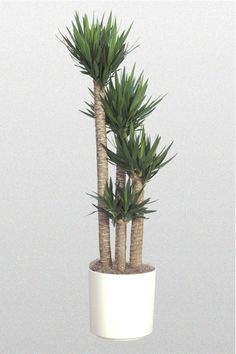 Indoor Palm Trees - Yucca Palm Place near window/door where it can get indirect sunlight. Indoor Palm Trees, Indoor Palms, Indoor Plants Low Light, Best Indoor Plants, Cool Plants, Living Room Plants, Room With Plants, Bedroom Plants, House Plants