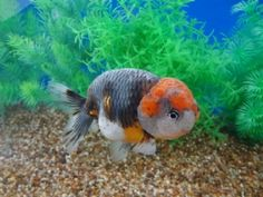 Goldfish Auction, Kirin Ranchu