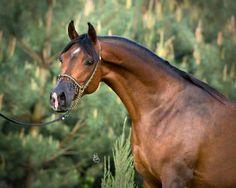 WOŁYNIANKA | ARABIAN HORSE DAYS