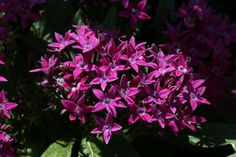 Pentas can add a splash of color in the garden, or home, just where you need it. This article provides information on how to grow Pentas so you can enjoy these plants year after year.