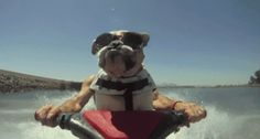 Bulldog pilotando una moto de agua