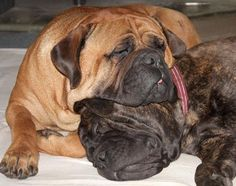 these look like my dogs i have to bull mastiffs