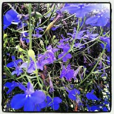 "@carylshawver's photo: ""Lobelia"""