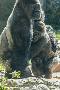 I love how people will say animals have no feelings... This is clearly a family within the animal world..  You have the silver back gorilla (dad) then the female (mom) then the baby at momma's feet:) This is a family unit within the animal kingdom.. save these animals before the only way we can see them is in  National Geographic.