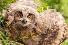 Young Eagle-Owl (Bubo bubo)