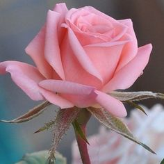 Amazing Flowers, Love Flowers, My Flower, Rose Pictures, Flower Photos, Pretty Roses, Beautiful Roses, Beautiful Friend, Rosa Rose