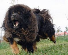 Breeding Dog , 6 Gorgeous Big Dog Breeds List And Pictures In Dog Category Extra Large Dog Breeds, Giant Dog Breeds, Dog Breeds List, Giant Dogs, Mastiff Breeds, Mastiff Puppies, Dogue Du Tibet, Russian Bear Dog, Le Plus Grand Chien