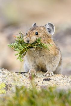 American Pika-this is the cutest thing ever. I want one!!