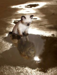 It's all how you see yourself.... .Siamese .kitten looks in mirror puddle's water reflection mirror's see's a lion, What MATTERS Most is How YOU SEE Yourself, Definitions of Confidence & Self Esteem