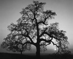 Oak Tree, Sunset City by Ansel Adams