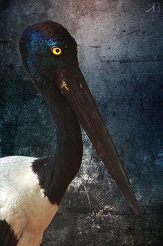 Black necked Stork beautiful truly