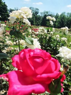 3 Rose Parks in Columbus Park of Roses- Things To Do In Ohio. Find out about the Columbus Park of roses and why you should visit! The rose park is like having three beautiful rose parks rolled into one!