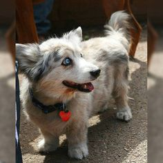 Are you sure the Husky Corgi mix is the right puppy for your family? Find out why veterinarians think you should steer clear of the Husky Corgi mix, you won't believe some of the reasons until you read them. Love My Dog, Baby Animals, Funny Animals, Cute Animals, Cute Dogs Breeds, Dog Breeds, Corgi Mix Breeds, Mix Breed Dogs, Corgi Husky Mix