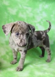 Meg White is an adoptable Australian Cattle Dog (Blue Heeler) Dog in Westminster, CO. Come save a life at RMPR's Next Puppy Adoption Event - Saturday, July 20th at Petco Westminster (6735 West 88th Av...