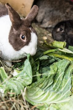 brown and white rabbit eating lettuce