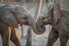 Elephants playing in the Kruger National Park, South Africa. Elephants Photos, Elephant Pictures, Animal Pictures, Charles Darwin, Large Animals, Animals And Pets, Wildlife Photography, Animal Photography, Elephants Playing