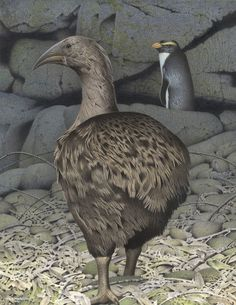 The South Island Adzebill - Image from the series Extinct birds of New Zealand by Paul Martinson