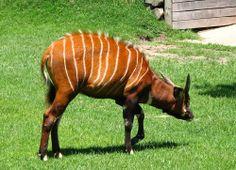 antilope bongo Bongos, Giraffe, Horses, Animals, Animales, Animaux, Giraffes, Horse, Animal