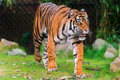 All sizes | Walking Sumatran tiger | Flickr - Photo Sharing!