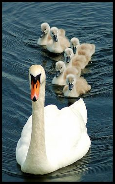 Mother Swan and ducklings