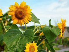 Sun Spot Dwarf Cola Sunflower