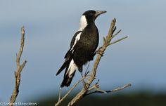 Bluey Wrens, Magpie, Bald Eagle, Fairy, Birds, Animals, Animales, Animaux, Bird