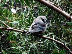 Alice Springs, Australia 2011 by Ashley J. Palmer, via Flickr Alice Springs, Australia, Bird, Animals, Animales, Animaux, Birds, Animal, Animais