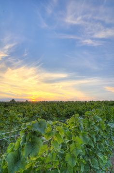 Closson Chase Vineyards in Prince Edward County, Ontario has over 30 acres of limestone-rich soil under vine, planted to Chardonnay and Pinot Noir. Photo by Steven Elphick.