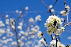 Realistic Graphic DOWNLOAD (.ai, .psd) :: http://sourcecodes.pro/pinterest-itmid-1006613692i.html ... Prunus cerasoides at Khun Chang Kian, Thailand ...  blooming, blossom, flower, himalayan cherry, landscape, nature, ornamental, outdoors, petal, prunoideae, prunus cerasoides, rosacea, sakura, scene, thai sakura, white, winter  ... Realistic Photo Graphic Print Obejct Business Web Elements Illustration Design Templates ... DOWNLOAD :: http://sourcecodes.pro/pinterest-itmid-1006613692i.html