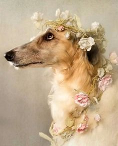 Surrey dog photographer based in Richmond, offering studio and outdoor photoshoots for pets in London and the South East. Borzoi Dog, Whippet, Animals And Pets, Cute Animals, Princess Photo, Afghan Hound, My Animal, Beautiful Dogs, Dog Art
