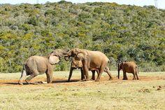 Just a great #PhotoOfTheDay by #MarkdeScande #Elephants #AddoElephantNationalPark