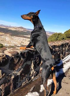 The Doberman Pinscher is among the most popular breed of dogs in the world. Known for its intelligence and loyalty, the Pinscher is both a police- favorite Doberman Pinscher Dog, Doberman Love, Weimaraner, Rottweiler, Working Dogs, Beautiful Dogs, Mans Best Friend, Dogs And Puppies, Doggies